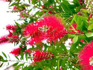 木からぶら下がっている赤い花の写真・画像素材[3211403]