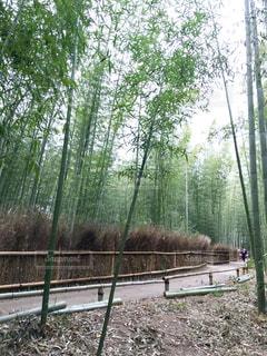 嵯峨野の竹林の写真・画像素材[932816]