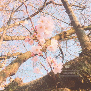 空,花,春,桜,木,ピンク,花見,鮮やか,サクラ,Spring,さくら