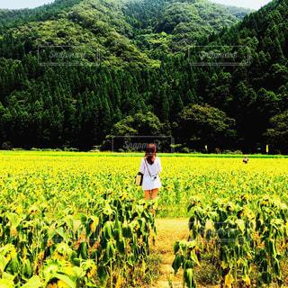 萎れたひまわり畑の写真・画像素材[889611]