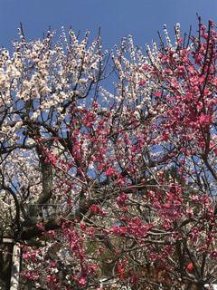 満開,梅の花,不老園