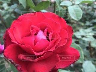 薔薇,芸術の森公園,山梨県立美術館
