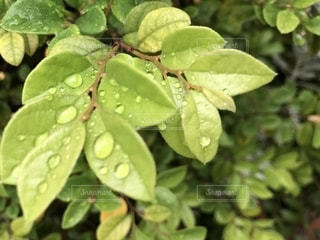 葉っぱの雫の写真・画像素材[2120507]