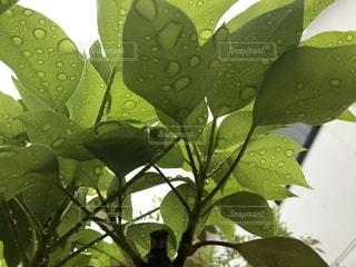 自然,庭,屋外,植物,水,水滴,葉,水玉,雨上がり,雫,しずく,草木