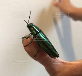 夏,緑,昆虫採集,虫取り,夏休み,生き物,6月,8月,7月,虫捕り,メタリック,タマムシ,Chrysochroa fulgidissima