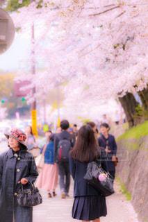 No.629008 桜