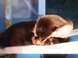 水族館のカワウソの写真・画像素材[719328]