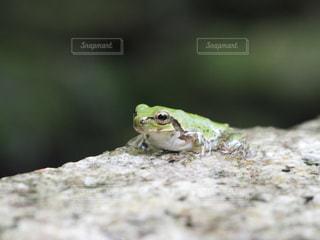 近くにカエルのアップの写真・画像素材[721308]
