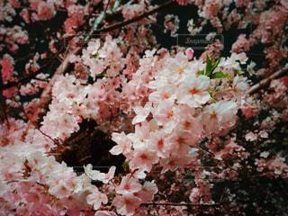 夜桜 - No.769620