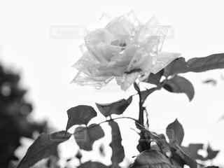 雨上がりの白薔薇の写真・画像素材[813285]