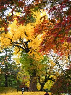 銀杏の大木の写真・画像素材[840679]