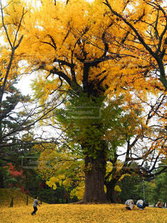 銀杏の大木の写真・画像素材[840685]