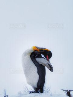 ペンギン - No.882042