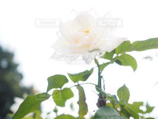 雨上がりの白い薔薇の写真・画像素材[908989]