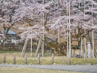 根尾谷淡墨桜の写真・画像素材[1122018]