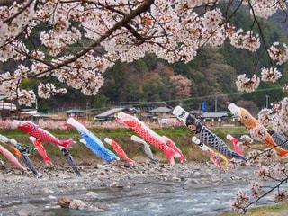 春,桜,川,こいのぼり,長野,4月,遠山郷,遠山川