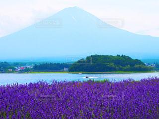 ラベンダーと富士山の写真・画像素材[1124194]