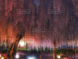 紫,藤,提灯,ライトアップ,藤棚,藤まつり,愛知,曼陀羅寺,江南市,曼陀羅寺公園,九尺藤,花絶景