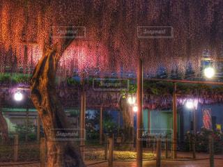 紫,藤,提灯,ライトアップ,藤棚,藤まつり,愛知,曼陀羅寺,江南市,曼陀羅寺公園,九尺藤,花絶景,八重黒龍