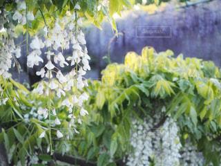 曼陀羅寺公園の藤まつりの写真・画像素材[1140195]