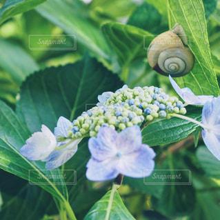 紫陽花とかたつむりの写真・画像素材[1221325]