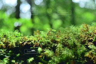 フォレスト内のツリーの写真・画像素材[986732]
