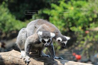 灰色の小動物の写真・画像素材[705440]