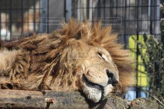 ライオンの休息の写真・画像素材[871999]
