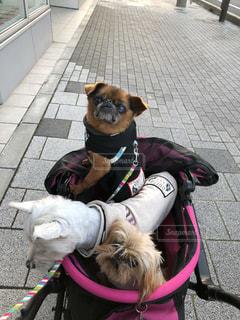 犬,動物,可愛い,休日,お出かけ,鼻ぺちゃ,休日の過ごし方,ブリュッセルグリフォン,ウエスティ