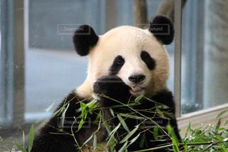 窓の前で座っているパンダの写真・画像素材[1015306]