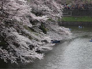 千鳥ヶ淵は桜が1番!の写真・画像素材[1020216]