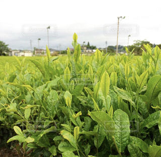 生い茂るお茶の葉の写真・画像素材[1047159]