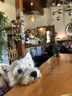 テーブルの上に座っている犬の写真・画像素材[2080141]