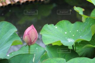 雨上がりの花の写真・画像素材[2165751]
