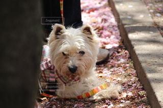 ひもの上の小さな白い犬の写真・画像素材[2701224]