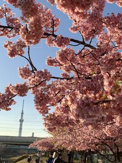 花,春,スカイツリー,桜の花,さくら