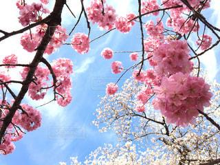 木の枝にピンク色の花のグループの写真・画像素材[1130745]