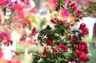 自然,花,春,赤色,ブーゲンビリア,はる