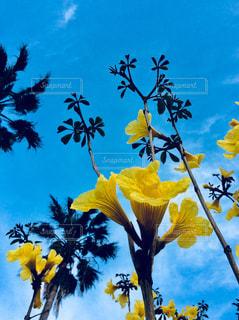 イッペイの花の写真・画像素材[1115546]