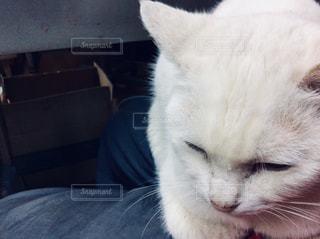 白猫の写真・画像素材[1268019]