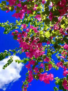 ブーゲンビリアのピンクの写真・画像素材[1435386]