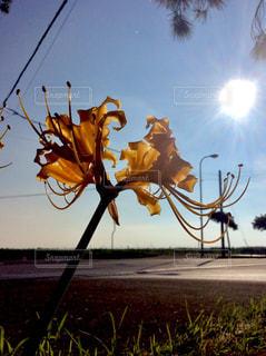 黄色い彼岸花の写真・画像素材[1467640]