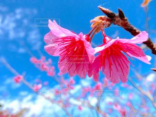 寒緋桜の写真・画像素材[1896429]