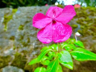 花,屋外,水滴,雨上がり,雫,石垣,インパチェンス,草木