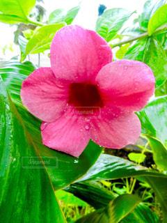 花,屋外,植物,南国,水滴,雨上がり,スコール,草木,インスタ映え,アラマンダ