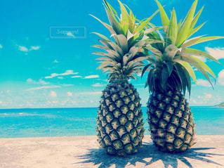 カップルパインの夏休みの写真・画像素材[2334820]