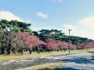 自然,空,花,桜,ピンク,青空,サクラ,満開,並木,素材,日中,カンヒザクラ,寒緋桜