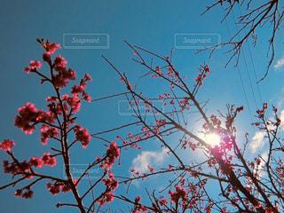 空,花,ピンク,青空,枝,満開,樹木,久米島,カンヒザクラ,ブロッサム,寒緋桜