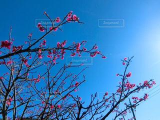 空,花,桜,ピンク,青空,枝,青い空,サクラ,素材,草木,カンヒザクラ,寒緋桜