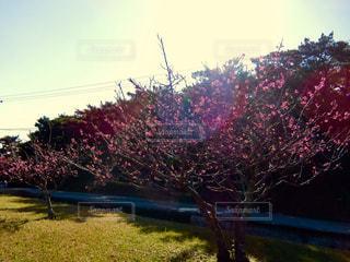 空,花,ピンク,沖縄,満開,素材,日中,カンヒザクラ,寒緋桜
